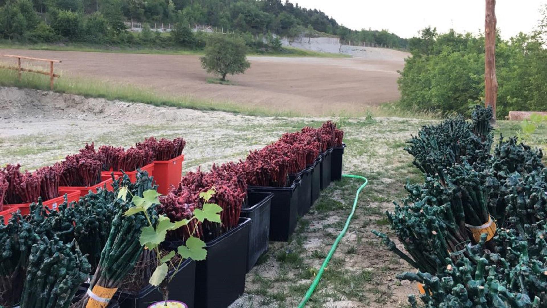 Azienda Agricola RoccaVinealis | Roccavignale, Provincia di Savona | Coltivazione di Granaccia | Vino Rosso della Liguria | Roccavinealis Azienda Agricola Granaccia