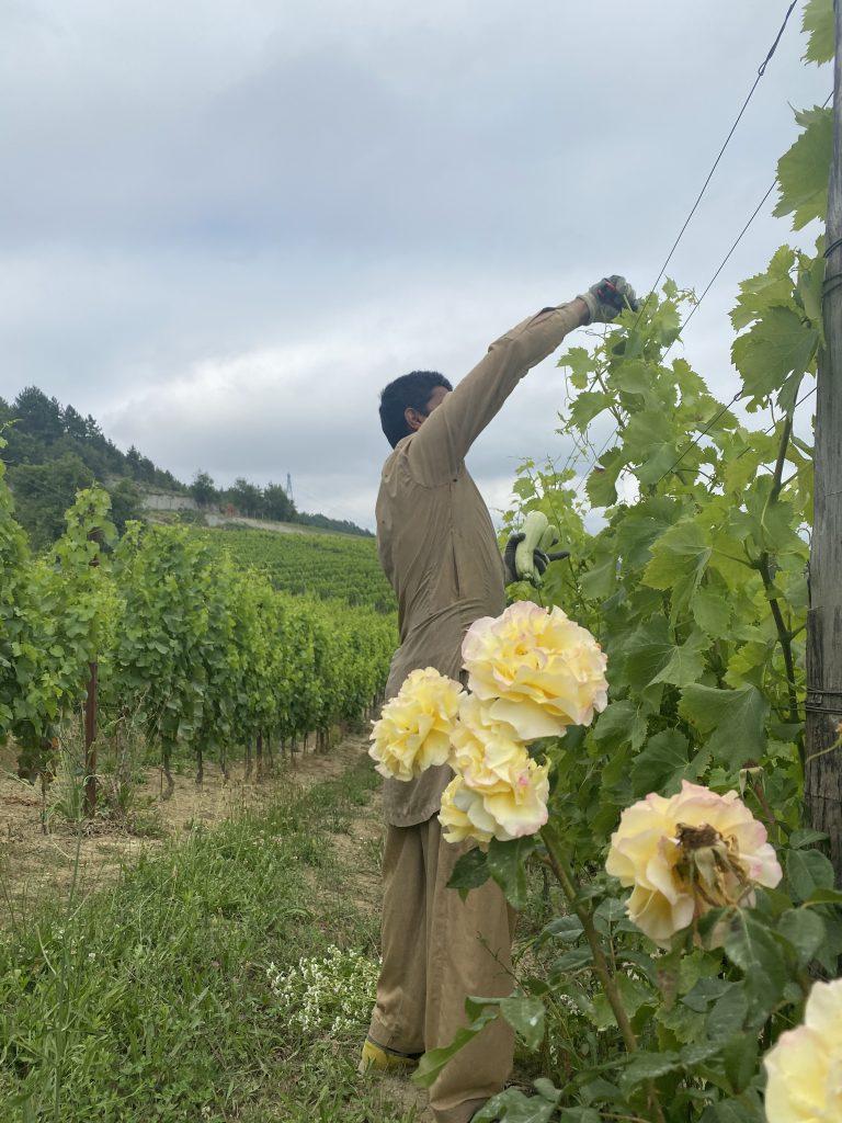 Azienda Agricola RoccaVinealis - Roccavignale, Provincia di Savona - Coltivazione di Granaccia - Vino Rosso di Liguria